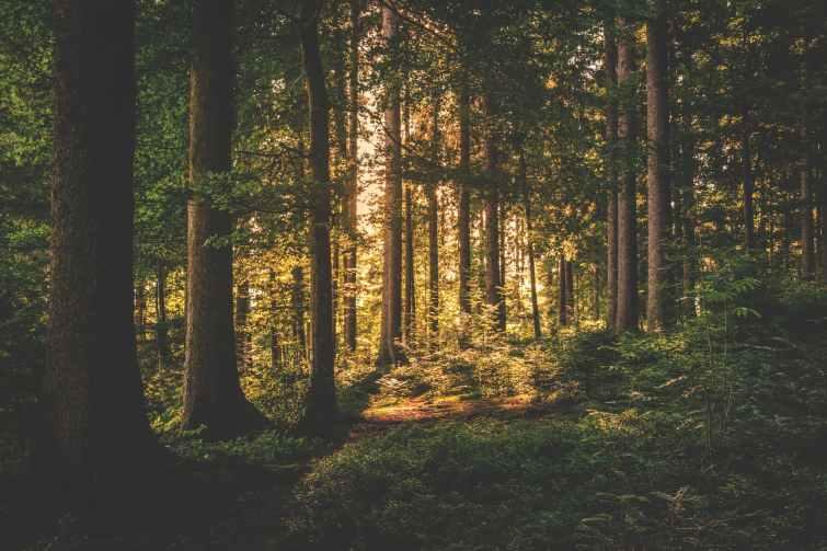 conifer dawn daylight evergreen